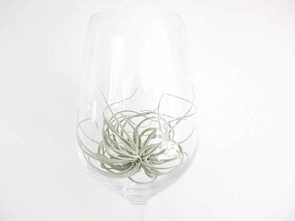 Wohngoldstück_Luftpflanze Tillandsie im Weinglas