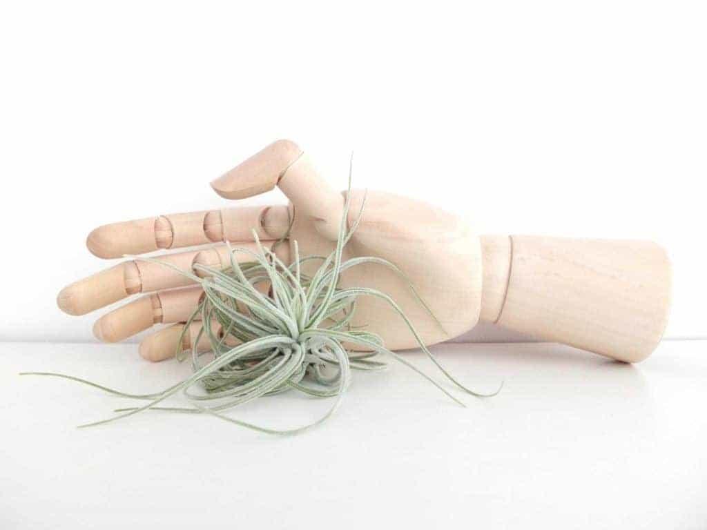 Wohngoldstück_Luftpflanze Tillandsie mit Holzhand